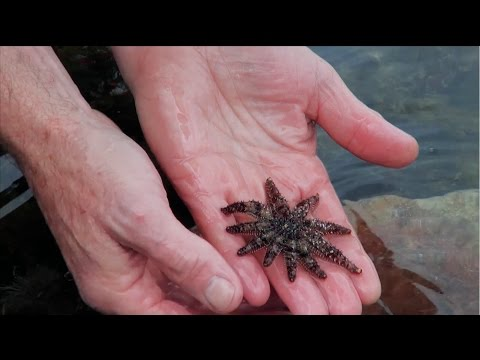 Wildlife Wanderings - Rock pools Ep 1 - Spanish Dancer & Brittle Star