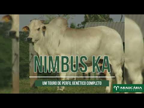 NIMBUS KA - Nelore