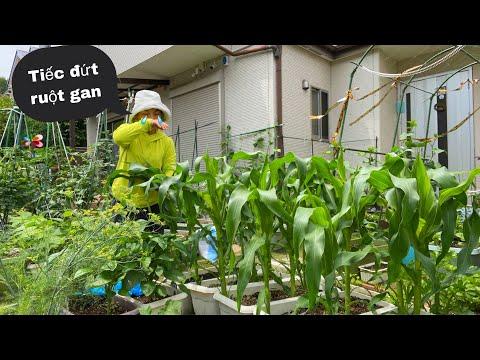 Bứng bỏ hết mớ BẮP mới trồng hơn tháng tiếc đứt ruột,thu hoạch bắp cải,bí ngòi,xà lách,rau má #918