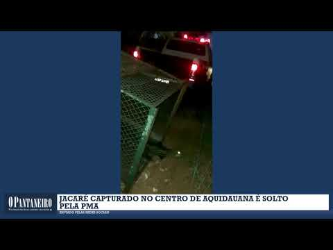 Jacaré capturado no Centro de Aquidauana é solto pela PMA
