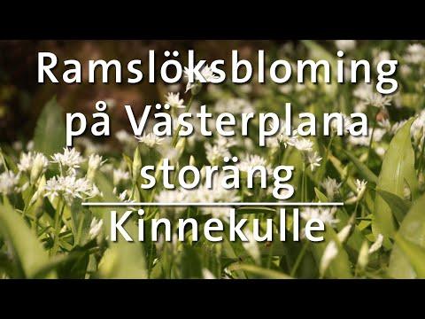 Ramslöksblomning Västerplana storäng, Kinnekulle