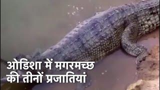 Odisha एकमात्र ऐसा राज्य जहां मगरमच्छों की तीनों प्रजातियां - NDTVINDIA