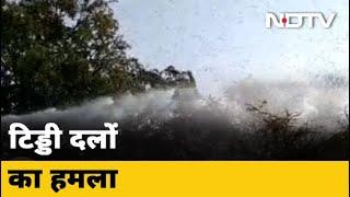 Madhya Pradesh में भी टिड्डी दल ने पहुंचाया नुकसान - NDTVINDIA