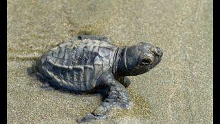 Capturan a cazadores de tortugas en Playa Ostional