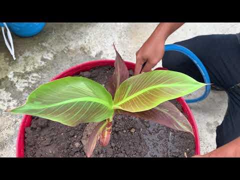 กล้วยแดงอินโด-สังกัด-TK-ฟาร์ม-