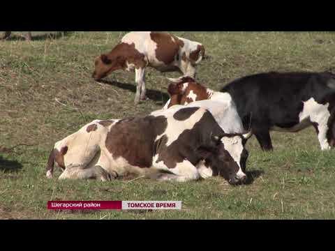 Районы Томской области включились в реализацию концепции ускоренного развития мясного скотоводства