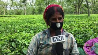 12 Jun, 2021 - Tea gardens resume activities in eastern India amid coronavirus - ANIINDIAFILE