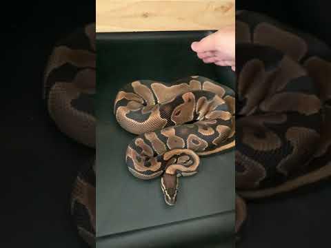 งูBall-Python