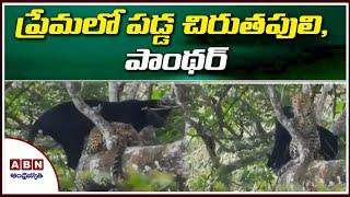 Leopard and black panther In Love Since 4 Years, Video Hulchul In Social Media | ABN Telugu - ABNTELUGUTV