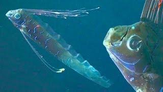 Giant oarfish found off Catalina Island Oarfish Skeleton