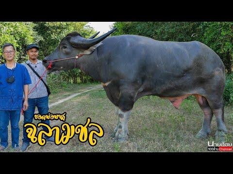 ฉลามชล-พ่อพันธุ์ควายไทยไซส์ยัก