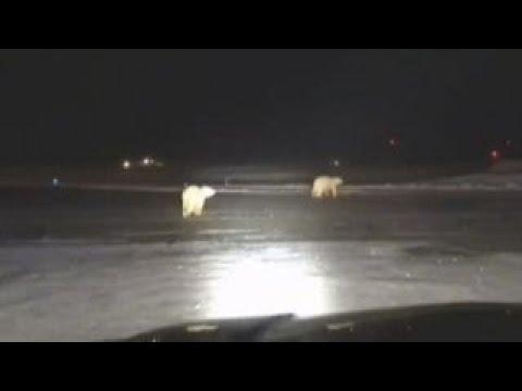 Polar bears spotted running along Alaska airport field