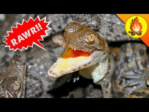 Catching Baby Crocodiles!