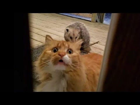 connectYoutube - WARNING! You may lose your teeth because of laugh - FUNNY Cat compilation