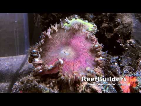 Flower Anemone With Eggs!