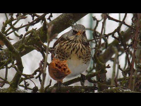 Kwiczoł - zimą dokarmiamy ptaki: co najchętniej zjadają kwiczoły
