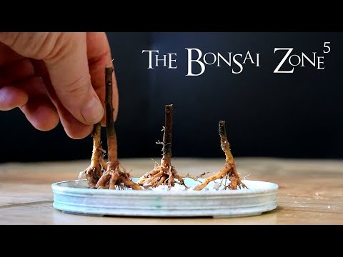 Bougainvillea Bonsai, Part 3, The Bonsai Zone, Jan 2018