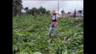 Lluvias ocasionan daños en cultivos de maíz y frijol