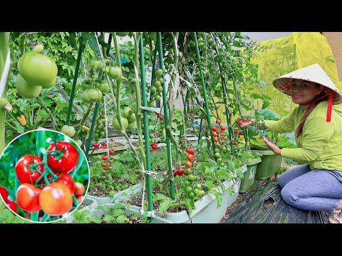 Mê đắm vườn rau trồng chậu ăn hoài Ko hết, nay Q hái nhẹ 11 loại nha quí vị #939
