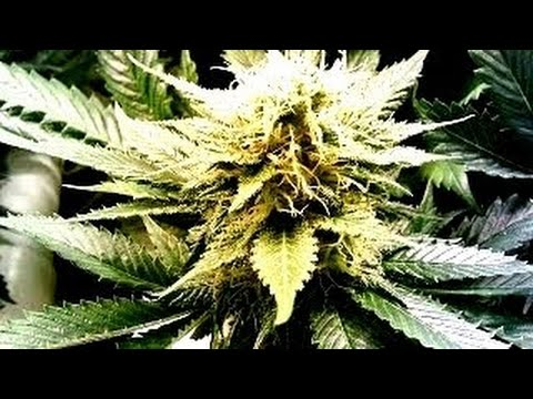 10 Strongest Marijuana Strains