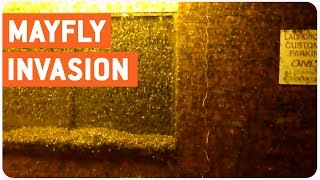 Mayfly Invasion | Buggin Out