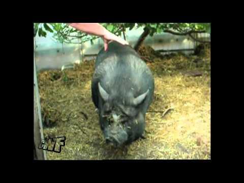 Co za świnia!