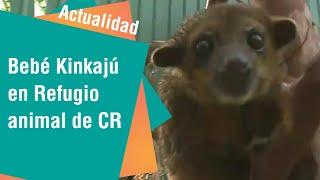 Un bebé Kinkajú es el ejemplar más nuevo del Refugio Animal de Costa Rica | Actualidad