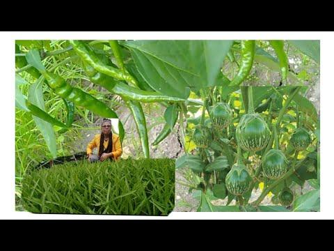 ชมสวนผัก-พริก-แตง-มะเขือ-กำลัง