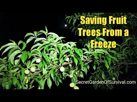 Saving Fruit Trees and Other Plants from a Freeze