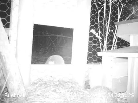 Caught on camera: Peanut the hedgehog leaves her enclosure