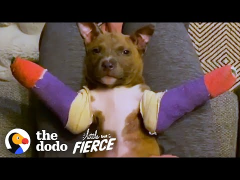 Tiny Pit Bull Puppy Gets Purple Casts To Help Him Run   The Dodo Little But Fierce