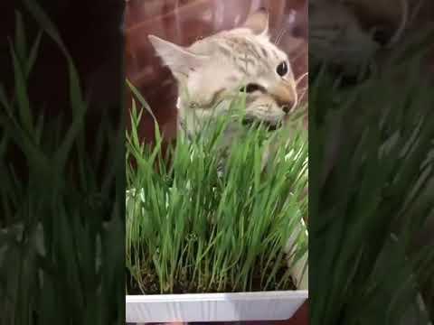 เฮ้ยแกเป็นแมวนะไม่ใช่วัว-ดูสิก
