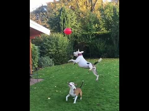 connectYoutube - Adorable Dogs Love Playing With Balloon
