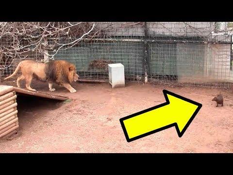 Собака и Лев в Одной Клетке  То, что Произошло Поразило Всех