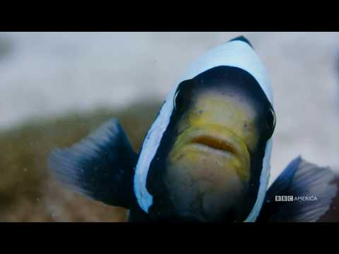Planet Earth: Blue Planet II | Clownfish | Coming to BBC America 2018