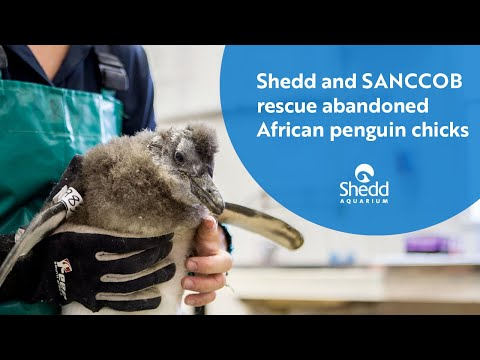 Shedd and SANCCOB Rescue Abandoned African Penguin Chicks