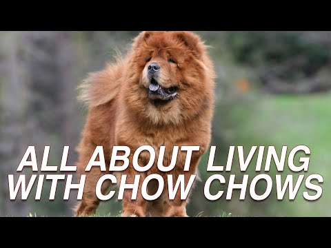 ALL ABOUT LIVING WITH CHOW CHOW DOG