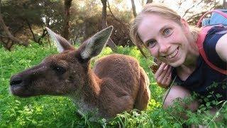 Дикие кенгуру и долгий путь домой
