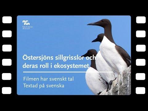 Östersjöns sillgrisslor och deras roll i ekosystemet