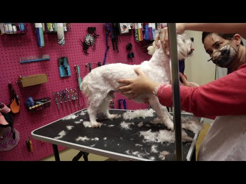 Live maltese grooming