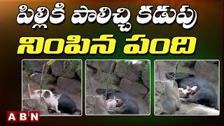 Cat Vs Pig:Cat Drinking Milk From Mother Pig || పిల్లికి పాలిచ్చి కడుపు నింపిన పంది || ABN Telugu - ABNTELUGUTV