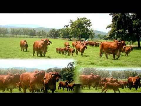 สุดยอดฟาร์มวัวบราห์มันแดงสวยระ