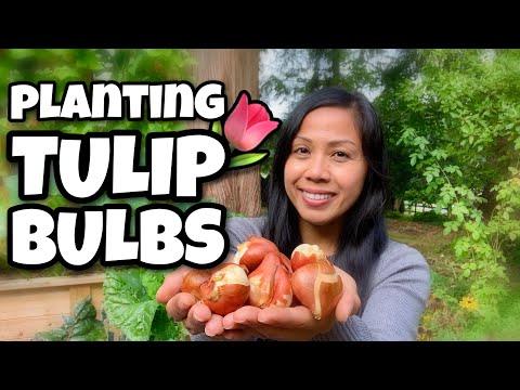 Planting Tulip Bulbs / How To Plant Flower Bulbs