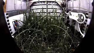 Dwarf Wheat Grows in International Space Station's Advanced Plant Habitat