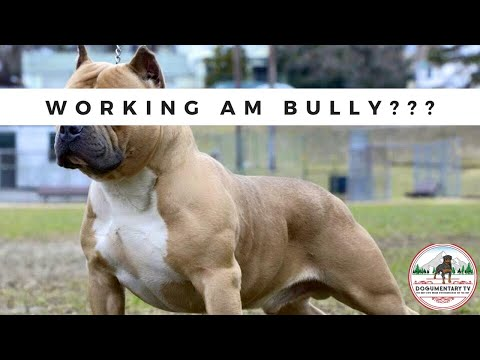 DIRECTOR NOTES - IS WORKING AMERICAN BULLY A THING?