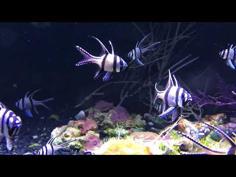 Cardinal reef fish schooling in a display tank