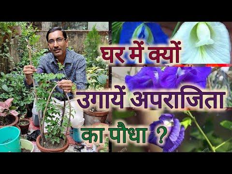 घर पर क्यों जरूरी है अपराजिता का पौधा लगाना / Aparajita Vastu and Plant Care. Blue Pea Flowering tip
