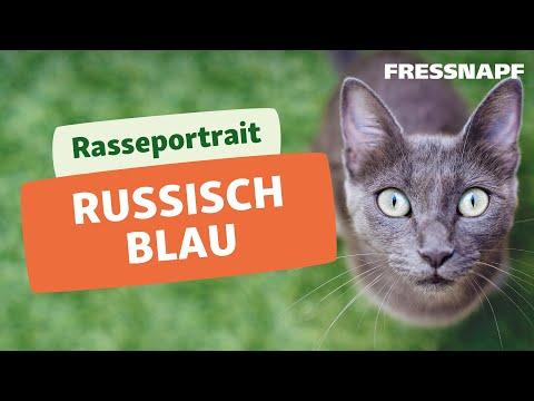 Rasseportrait: Russisch Blau