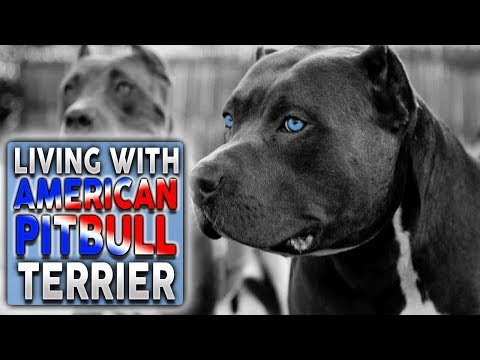 AMERICAN PITBULL TERRIER! What It's Like To Live With A Pitbull (feat. Tyrell Frye)