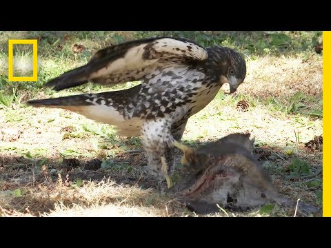 Hawk Raised by Eagles Is Starting to Act Like One   National Geographic